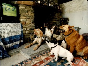 Dogs watching TV at the exclusive health farm for dogs run by pa